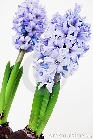 Two purple hyacinths