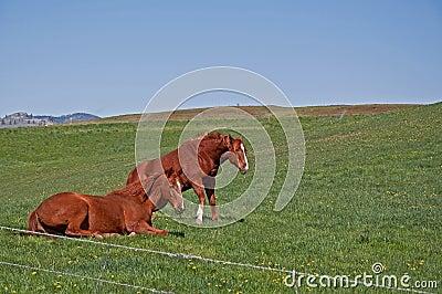 Two Quarter Horses Waking Up