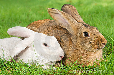 Two rabbits bunny on grass