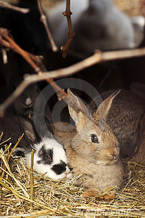 Two rabbits on hay
