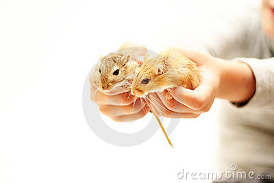 Two rats in the child hands