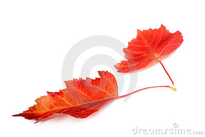Two red autumn leaves isolated on white