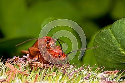Two red bugs having fun