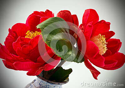 Two Red Camellias