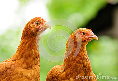 Two Red Chickens