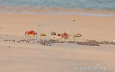 Two Red Crabs