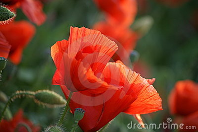 Two Red Poppy