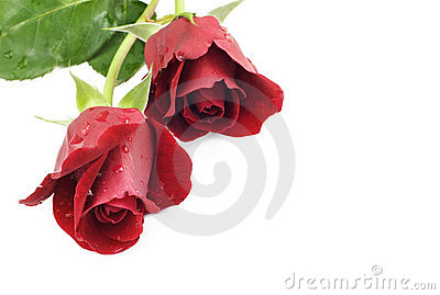 Two Red Roses White Background
