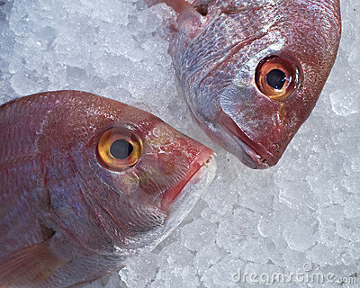 Two red sea bream fish heads in the ice