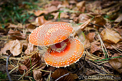 Two red toadstools