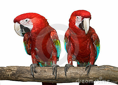 Two red tropical wild  parrot.