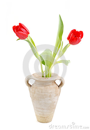 Two red tulips