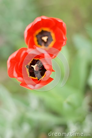 Two red tulips in form of the digit 8