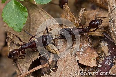 Two reddish ants having tug of war