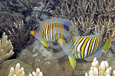 Two Regal Angelfish