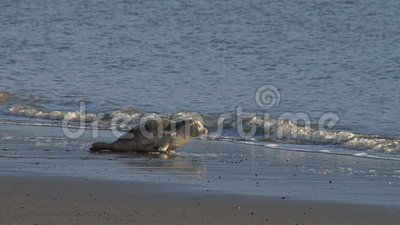Two rehabilitated seals entering water and back into the wild stock video footage