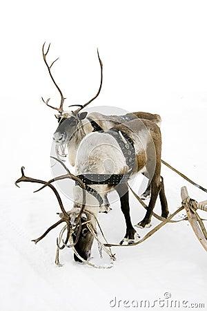 Two reindeers