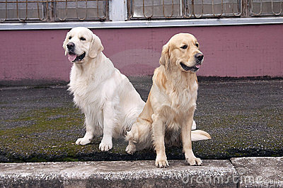 Two retriever sitting there