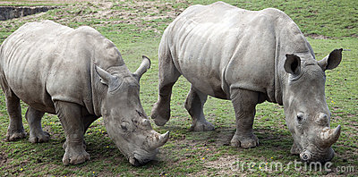 Two Rhino Grazing