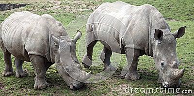 Two Rhino Grazing