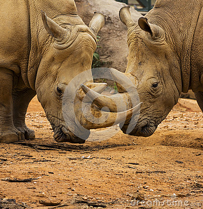 Free Two Rhino Locking Horns Royalty Free Stock Photography - 34208937