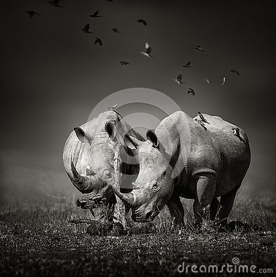 Free Two Rhinoceros With Birds In BW Stock Photos - 75619023