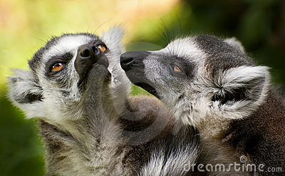 Two ring tailed lemurs (Lemur catta)