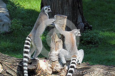 Two ring-tailed lemurs (Lemur catta) on a log