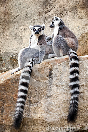 Two Ring-tailed Lemurs Relaxing on a Rockface