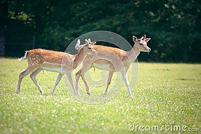 Two roe deers on a meadow