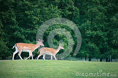 Two roe deers on a meadow