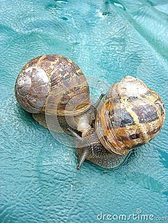 Two Roman snails