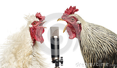 Two roosters singing at a microphone, isolated