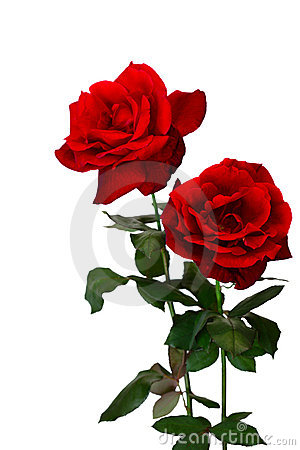 Two Roses Royalty Free Stock Images - Image: 16352899