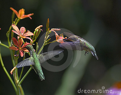 Two Ruby-Throated Hummingbirds
