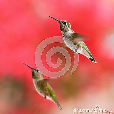 Two Rufous Hummingbirds