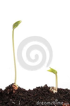 Two runner bean seedlings
