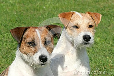 Two Russell Terriers