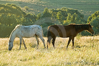 Two rustlers Horses grazing