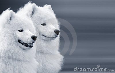 Two samoyed dogs