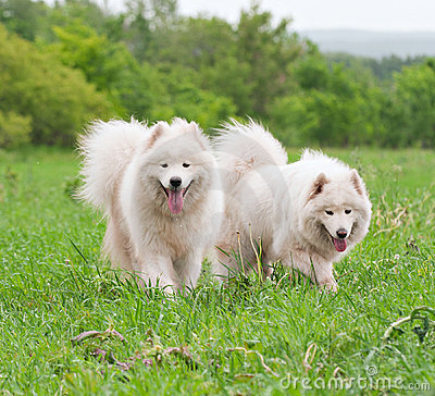 Two samoyed on a meadow