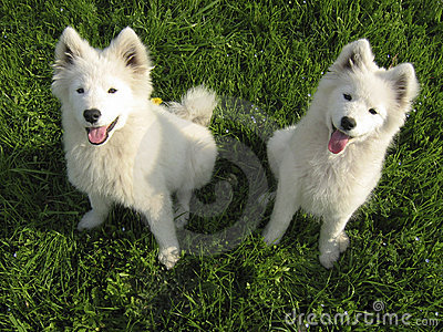 Two Samoyed puppies
