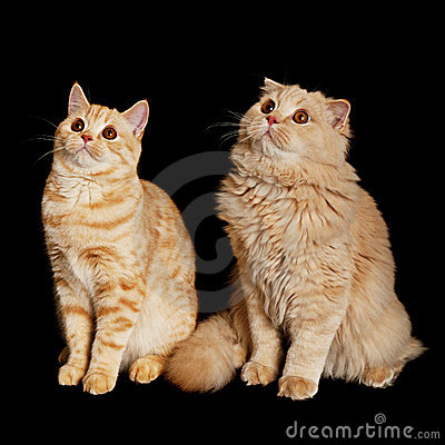 Free Two Scottish Cats Royalty Free Stock Photos - 21409238