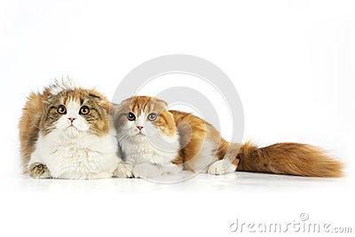 Two Scottish fold cat