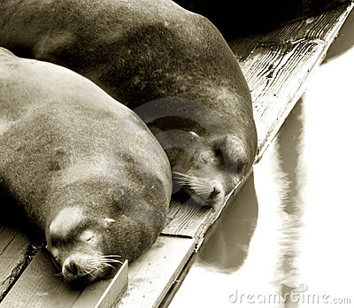 Two Sea Lions Sleeping