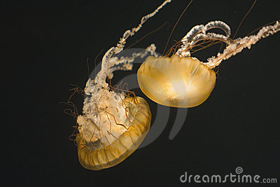 Two Sea Nettles