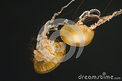 Two Sea Nettles