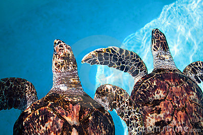 Two sea turtle  swimming in tropical water
