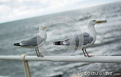 Two seagulls on promenade railing
