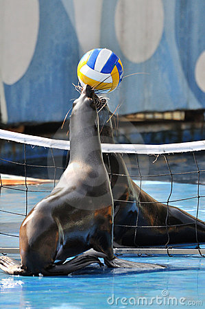 Two seals playing ball